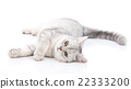 British Shorthair cat lying 22333200