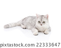 British Shorthair cat lying and looking 22333647