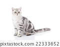 Cute  British Shorthair kitten sitting 22333652