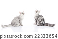 Cute American Shorthair kittens sitting 22333654