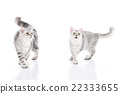 kittens walking and looking up on white background 22333655