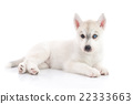 Cute siberian husky puppy lying  and looking 22333663