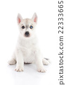Cute siberian husky puppy sitting and looking 22333665