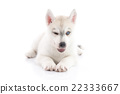 Cute siberian husky puppy lying  and winking 22333667