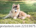 Cute siberian husky puppy lying on green grass 22333675