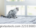 kitten licking lips and looking on white bed 22333683