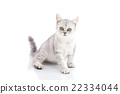 Cute British Shorthair kitten sitting and looking  22334044