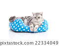 Cute American Shorthair kitten lying in cat bed 22334049