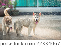 siberian husky puppy shakes the water off its coat. 22334067