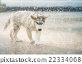 siberian husky puppy shakes the water off its coat. 22334068