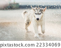 siberian husky puppy shakes the water off its coat. 22334069