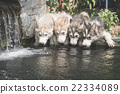 siberian husky puppies drinking water 22334089