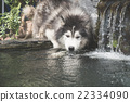 dog drinking water 22334090