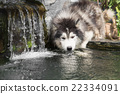 dog drinking water 22334091