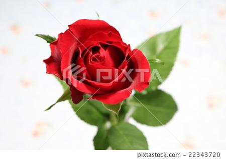一朵紅玫瑰 22343720