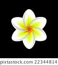 frangipani flower isolated  22344814
