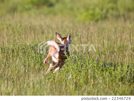 Young Fawn running in a field 22346729