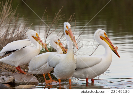 American White Pelicans 22349186