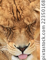 獅子 動物 臉部 22350168
