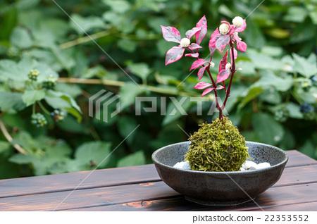 盆栽 苔藓 日本 22353552