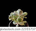 succulent plants 22355737