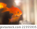 Goldfish swimming in fish tank 22355935