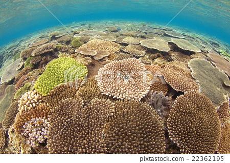 테이블 산호 22362195