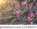 pink flowers of the Rhododendron plant 22366024