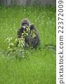 大猩猩 动物 动物园 22372009