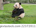 Panda eating bamboo 22372011