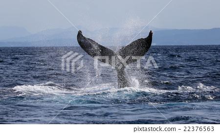 Humpback whales 22376563