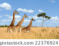 Giraffe 22376924