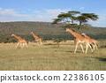 長頸鹿 野生 熱帶大草原 22386105