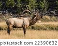 Bull Elk Bugling 22390632