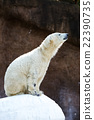 北極熊 動物 兒童 22390735