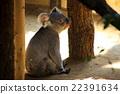 動物園 哺乳動物 考拉 22391634