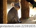 動物園 哺乳動物 考拉 22391635