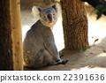動物園 哺乳動物 考拉 22391636
