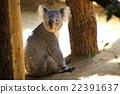 動物園 哺乳動物 考拉 22391637