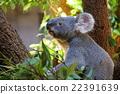 考拉 哺乳動物 動物 22391639
