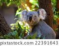考拉 哺乳動物 動物 22391643