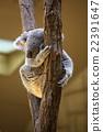 考拉 哺乳動物 動物 22391647