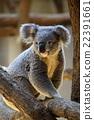 考拉 動物 哺乳動物 22391661