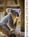 考拉 哺乳動物 動物 22391662