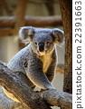 koala bear, koala, animal 22391663