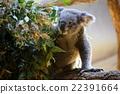 考拉 桉樹 哺乳動物 22391664