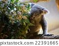 考拉 桉樹 哺乳動物 22391665