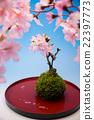 ดอกซากุระบาน,ซากุระบาน,ดอกไม้ 22397773