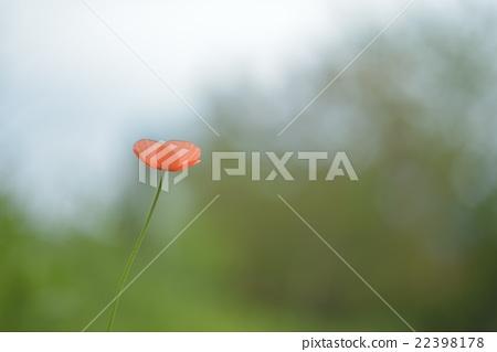 在公园里的罂粟花 22398178