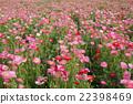 poppy, bloom, blossom 22398469